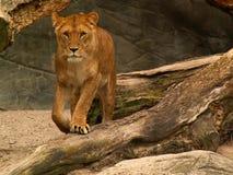 Lion female. Female lion walking facing the camera Stock Image