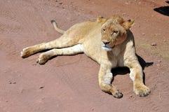Lion female stock image