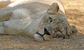 Lion. Female African Lion Laying Facing Viewer stock images