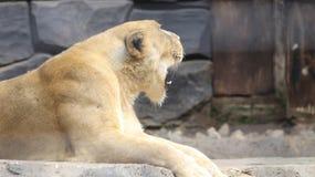 Lion Female bij dierentuin 3 stock afbeelding