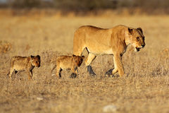 Lion female with cubs Royalty Free Stock Photography