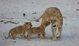 Lion female with cubs is resting on the sand Royalty Free Stock Images