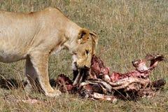 Lion female eating zebra, Masai Mare, Kenya. Lion female chewing leftovers of zebra carcase, Masai Mara, Kenya, East Africa Stock Image