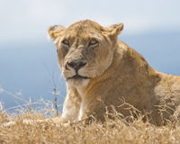 Lion. A female lioness looking straight at us, at Ngorongoro Crater National Parl, in Arusha, Tanzania stock photo