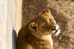 Lion female Royalty Free Stock Images