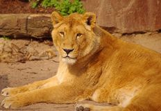 Lion female is lying in rest in Heidelberg Zoo Royalty Free Stock Photography