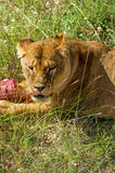 Lion female with piece of meat. Stock Photos