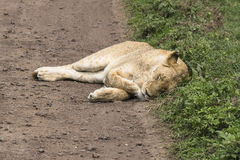 Lion female sleeping on the road Royalty Free Stock Image