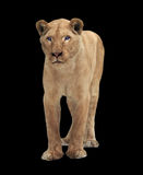 Lion female standing and looking at camera isolated on black Stock Image
