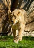 Lion Stock Photos