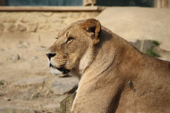 A lion. A female lion in a zoo Royalty Free Stock Photo