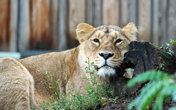 Lion. Female Lion in a zoo Royalty Free Stock Photos