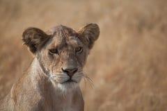 Lion femelle Photographie stock libre de droits
