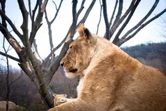 Lion femelle Image libre de droits
