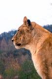 Lion femelle Photo stock