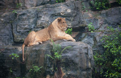 Lion femelle image stock