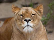 Lion femelle Photos libres de droits