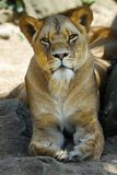lion femelle Photo stock