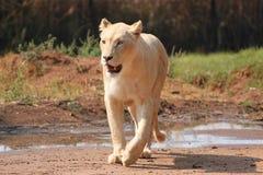 Lion femelle blanc Photo libre de droits