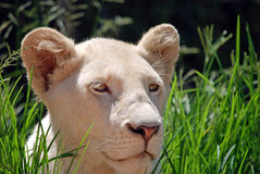 lion femelle d'herbe d'animal Image libre de droits