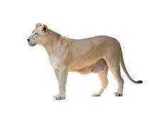 Lion femelle d'isolement Images stock