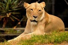 Lion femelle de repos Photographie stock libre de droits