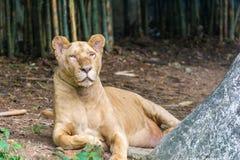Lion femelle en gros plan dans le zoo Images stock