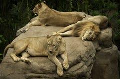 Lion femelle et masculin Photos libres de droits