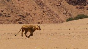 Lion femelle fonctionnant dans le bushveld africain, désert de Namib, Namibie photographie stock libre de droits