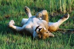 Lion femelle gambadant Photographie stock libre de droits