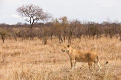 Lion femelle marchant par l'herbe image stock