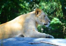 Lion femelle s'étendant sur une roche Images libres de droits