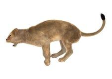 Lion femelle sur le blanc Image libre de droits