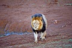 lion fermé de yeux Image stock