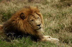 Lion in field. Lion lazing around in a field stock image