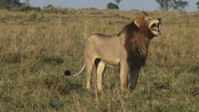 Lion in field. A close up video of a lion in a field in Kenya stock video footage