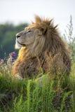 Lion fier photos stock