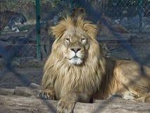 Lion fier en captivité Photographie stock libre de droits