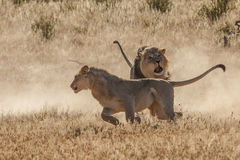 Lion fight in Kgalagadi. Dominant lion disciplining young male lion Royalty Free Stock Image