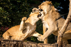 Lion fight. Lion and lioness fighting for a place on a wooden lookout Royalty Free Stock Photography