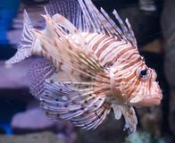 Lion fish 1 royalty free stock photo
