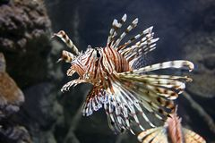 Free Lion Fish Stock Photography - 1092672