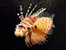Lion Fish Royalty Free Stock Photos