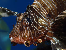 Lion fish. In the red sea Stock Images