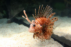 Lion Fish. In a fish tank Royalty Free Stock Photos