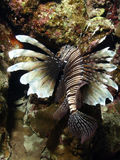 Lion fish. In a cave in the red sea Royalty Free Stock Photos