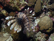 Lion fish. Flying in a cave Royalty Free Stock Photo