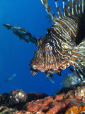 Lion fish. In the red sea Stock Photography