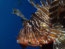 Lion fish. In the red sea Stock Photos