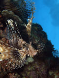 Lion fish. Flying in the red sea Royalty Free Stock Images